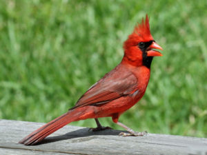 Northern_Cardinal_male_RWD2